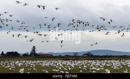 Huge flock of snow geese feeding and flying, Westham Island, British Columbia - Stock Photo