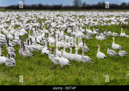 Thousands of snow geese in a farmer's field, Westham Island, British Columbia - Stock Photo
