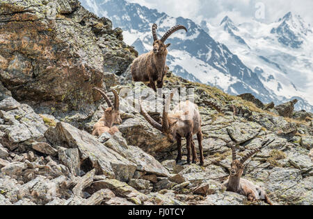 Group of Alpine Ibex, Swiss Alps, Switzerland | Gruppe Alpen-Steinboecke, Pontresina, Graubuenden, Schweiz - Stock Photo