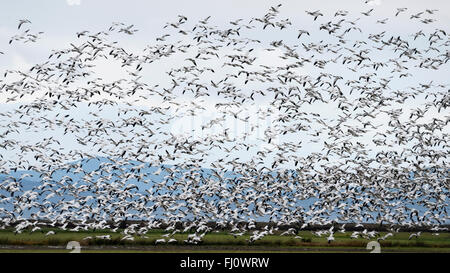 Snow geese by the thousands take to the air, Westham Island, British Columbia - Stock Photo