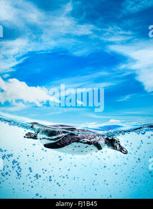 Humboldt Penguin (Spheniscus humboldti) also termed Peruvian Penguin, or Patranca, swimming in the clear water. - Stock Photo
