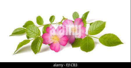 Dog rose (Rosa canina) flowers on a white background - Stock Photo