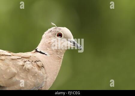 turtledove portrait on green background, image taken in an ornamental garden ( Streptopelia decaocto ) - Stock Photo