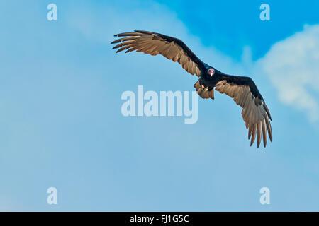 Lesser yellow-headed Vulture (Cathartes burrovianus) In Flight Santarem Brazil - Stock Photo
