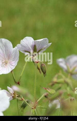 Pale pink Cranesbill Geranium 'Dreamland' flowers and buds in the summer sunshine - Stock Photo