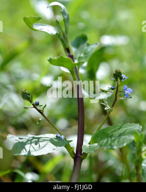 Brooklime (Veronica beccabunga). Blue flower of plant in the family Plantaginaceae, growing in a stream - Stock Photo