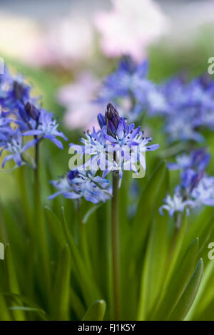 Scilla reverchonii flowers. - Stock Photo