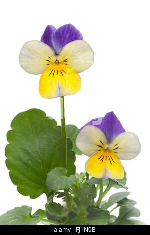 Fresh Viola cornuta flower on white background - Stock Photo