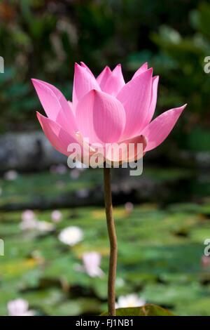 Pink lotus flower close up