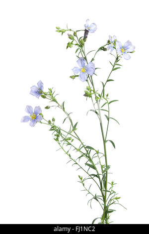 Twig of fresh blue flowering flax with buds on white background - Stock Photo