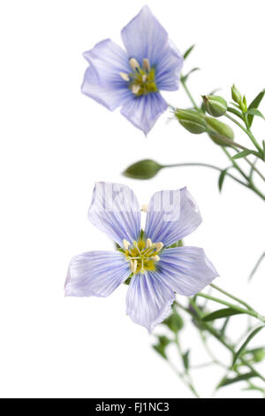Fresh blue flowering flax with buds on white background - Stock Photo