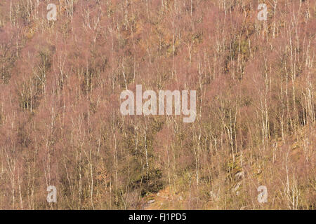 Silver Birch, Betula pendula, in late winter, with purple hue due to leaf buds.  Peak District National Park, Derbyshire. - Stock Photo