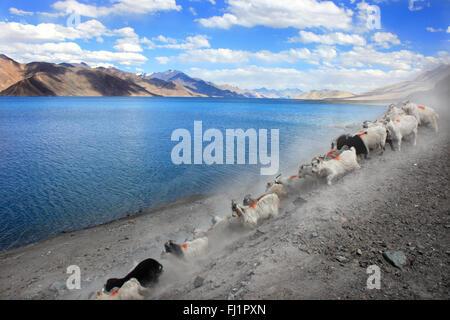 Goats at Pangong tso , landscape of Himalaya , Ladakh , India - Stock Photo