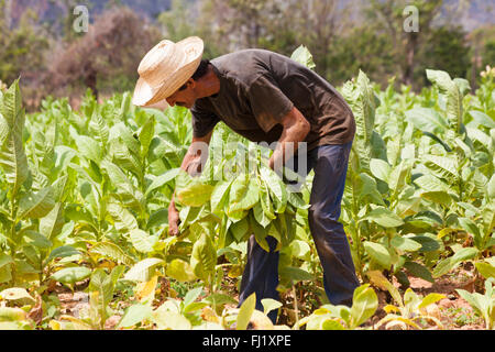 Daily life in Cuba - Picking tobacco leaves at Vinales, Pinar del Rio Province, Cuba, West Indies - Stock Photo