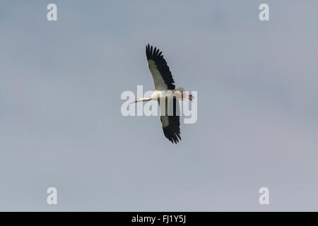 White stork (Ciconia ciconia) flying over the Ngorongoro Crater, Tanzania - Stock Photo