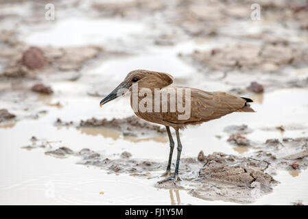 Hamerkop (Scopus umbretta) foraging in shallow water. This individual has caught invertebrate prey, visible in the - Stock Photo