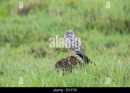 Male Montagu's harrier (Circus pygargus) drying itself off following a thunder storm in the Ngorongoro Crater, Tanzania. - Stock Photo