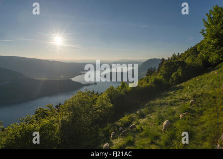 Sheep grazing on the Col de la Forclaz mountain pass above the Lake Annecy in the warm sunlight, Savoie, France - Stock Photo