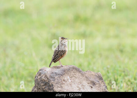 Rufous-naped lark (Mirafra africana) displaying by alternately singing and making short flights from a rocky mound. - Stock Photo