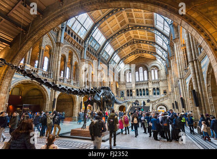 Hintze Hall with 'Dippy' the Diplodocus, a fossil skeleton cast, Natural History Museum, South Kensington, London, - Stock Photo