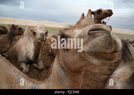 Wild camels in Gobi desert, Mongolia - Stock Photo
