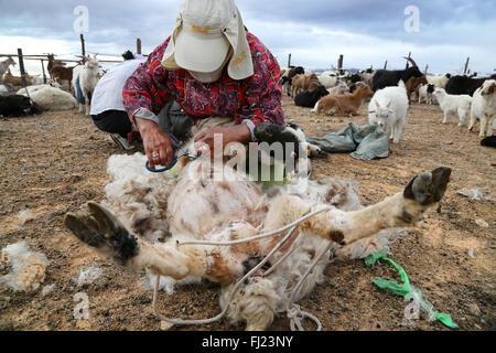 Nomadic woman in Gobi desert, Mongolia, is shaving a goat - Stock Photo