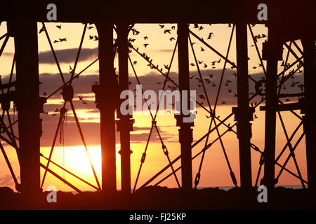 Aberystwyth, UK. 28th Feb, 2016. Starlings under pier at sunset in Aberystwyth, UK. 28th Feb, 2016. Starlings under - Stock Photo