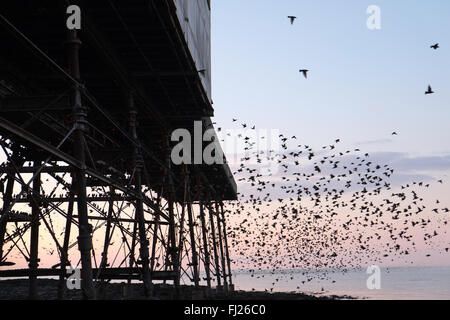Aberystwyth, UK. 28th Feb, 2016. Starlings under pier at sunset in Aberystwyth,Ceredigion,Wales,U.K. Credit:  Paul - Stock Photo