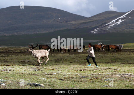 Woman running after reindeer, , Tsaatan Dukha people , nomadic reindeer herders , Mongolia - Stock Photo