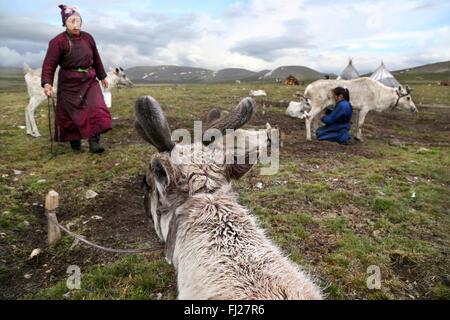 Woman milking reindeer, , Tsaatan Dukha people , nomadic reindeer herders , Mongolia - Stock Photo