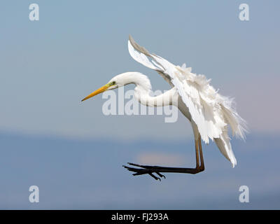 Great egret landing Stock Photo