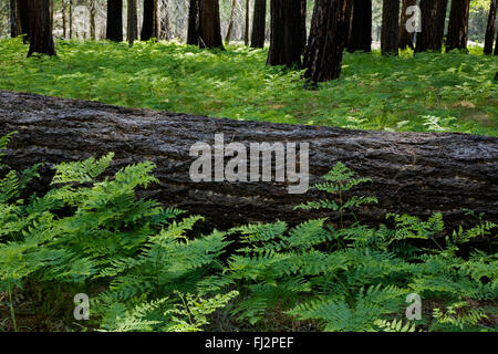 FERNS grow below trees in the YOSEMITE VALLEY during springtime - YOSEMITE NATIONAL PARK, CALIFORNIA - Stock Photo