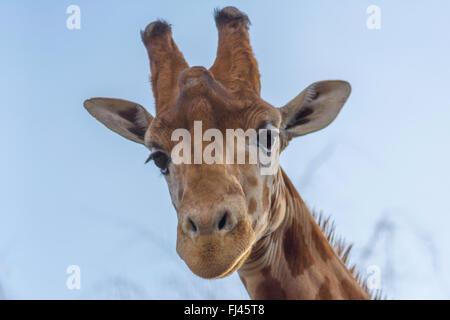 A giraffe looking down - Stock Photo