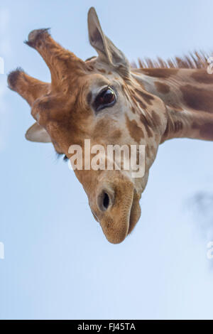 Giraffe, looking down - Stock Photo
