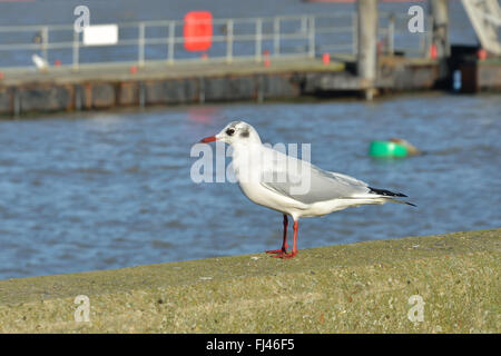 Single gull standing on wall - Stock Photo