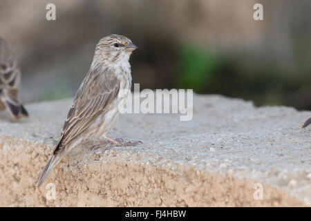 Yemen Serin, standing on a brick, Tawi Atayr, Dhofar, Oman - Stock Photo