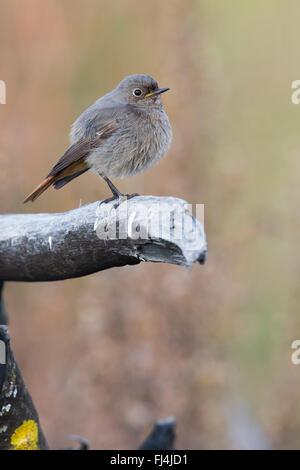 Black Redstart (Phoenicurus ochruros), perched on a branch, Montecorvino Rovella, Campania, Italy - Stock Photo