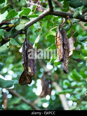 Carob tree, St John's-bread, Ceratonia siliqua - Stock Photo