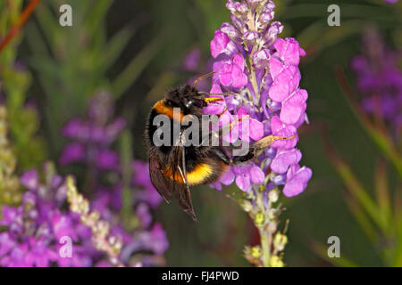 Buff-tailed Bumble Bee (Bombus terrestris) feeding on  Purple Toadflax (Linaria purpurea) in garden Cheshire UK - Stock Photo