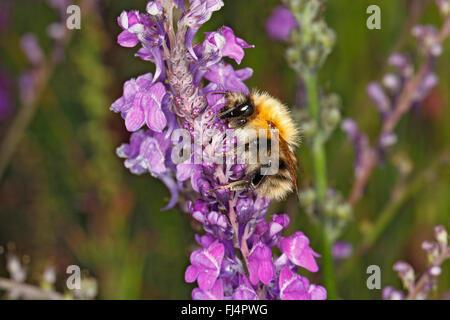 Common Carder Bumble Bee (Bombus pascuorum) worker feeding on Purple Toadflax (Linaria purpurea) in garden Cheshire - Stock Photo