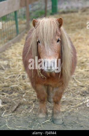 Dwarf Horse pony in stable - Stock Photo