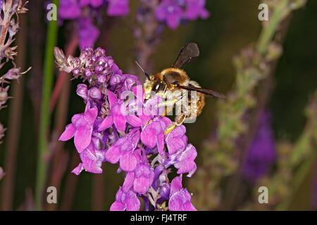 Wool-carder Bee (Anthidium manicatum) feeding on Purple Toadflax (Linaria purpurea) in garden Cheshire UK July 0482 - Stock Photo