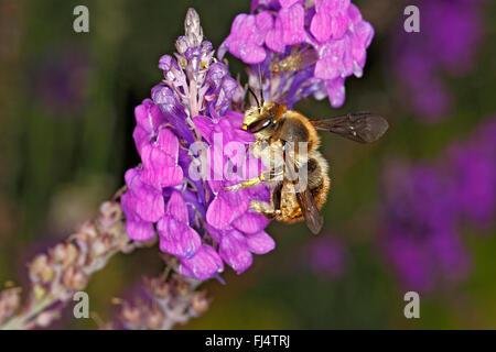 Wool-carder Bee (Anthidium manicatum) feeding on Purple Toadflax (Linaria purpurea) in garden Cheshire UK July 0485 - Stock Photo