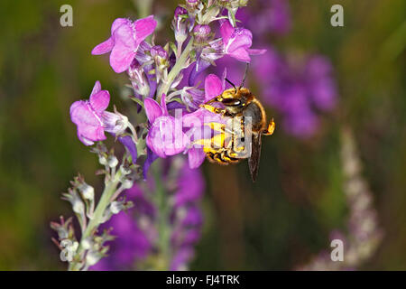 Wool-carder Bee (Anthidium manicatum) feeding on Purple Toadflax (Linaria purpurea) in garden Cheshire UK July 0750 - Stock Photo