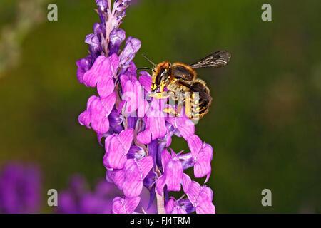 Wool-carder Bee (Anthidium manicatum) feeding on Purple Toadflax (Linaria purpurea) in garden Cheshire UK July 0751 - Stock Photo