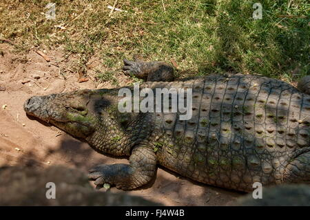 Crocodile head in Kwena garden in Sun City, South Africa - Stock Photo