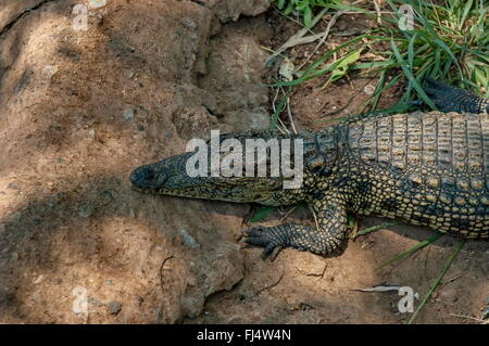 Small crocodile rest in grass at Kwena Gardens in Sun City, South Africa - Stock Photo