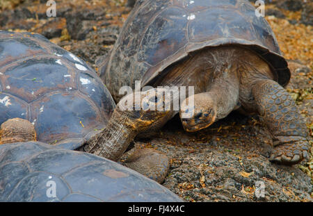 Galapagos tortoise, Galapagos giant tortoise (porteri) (Chelonodis nigra porteri, Geochelone elephantopus porteri, - Stock Photo
