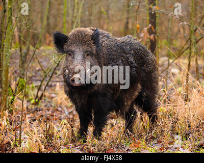 wild boar, pig, wild boar (Sus scrofa), young tusker in snowless winterforest, Germany, Baden-Wuerttemberg - Stock Photo