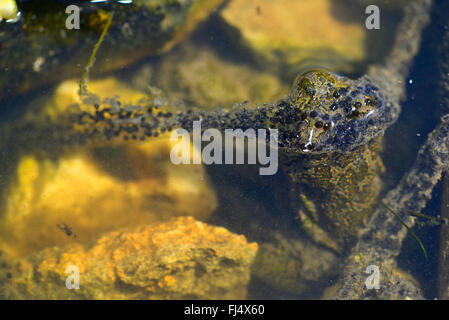 Eastern European spadefoot, Syrian spadefoot (Pelobates syriacus), spawn of the Syrian spadefoot, Romania, Dobrudscha, Biosphaerenreservat Donaudelta